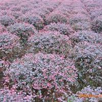 【绿化苗木】大量现货低价供应乔木工程绿化苗木精品  红继木球