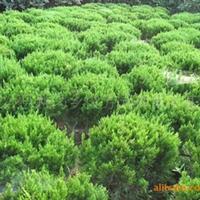 【低价】批发园林绿化工程各种规格树种 龙柏