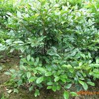 【园林绿化灌木】供应园林绿化工程各种规格树种 蚊母