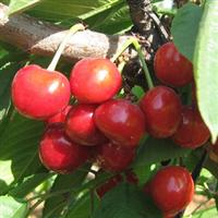 供应 优质1-5年生嫁接拉宾斯樱桃树苗 果树种苗