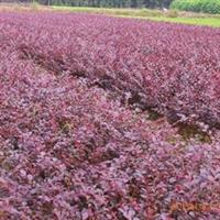 【红继木小苗】大量提供自产自销各种规格 红桎木