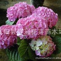 盆栽八仙花苗,绣球、斗球、草绣球、紫绣球、紫阳花