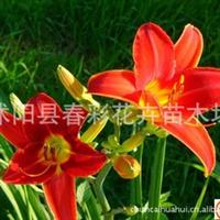 苗圃直销各种萱草,地被草花植物红宝石萱草,花色艳丽,红花绿叶