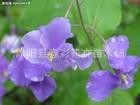 春彩花卉供应草花地被植物二月兰,诸葛菜,菜子花。紫金草