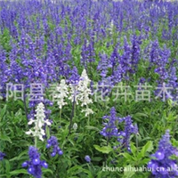 春彩花卉销售水生植物地被草花植物,兰花鼠尾草,一串兰,蓝丝线
