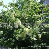 苗圃直销,木本绣球树高1.5-2.5米、斗球、草绣球、紫阳花