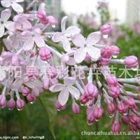 苗圃直销丛生丁香。洋丁香。紫花丁香