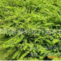 春彩花卉供应,各种草花地被水生植物,常绿灌木。匍枝亮绿忍冬