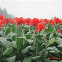 长期供应美人蕉  各种绿化苗木 草本植物(图)