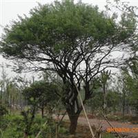 常年供应绿化苗木 优质红梅树
