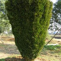 常年供应绿化苗木 小叶黄杨