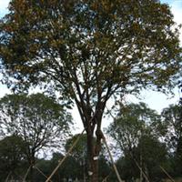 供应绿化苗木 优质丹桂 冠幅大树形美