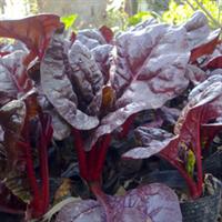大量供应红叶甜菜,羽衣甘蓝  冬季草花