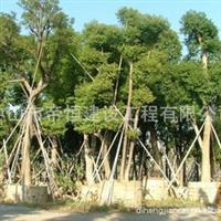 无忧花|香樟基地||苗圃园艺|专业园林绿化|美景绿化苗圃|风景苗圃