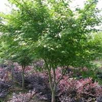 批发供应精品嵊州种植基地鸡爪槭树苗木