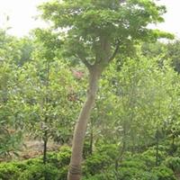 批发供应绿化苗木 鸡爪槭 可定制量大从优