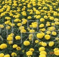 厂家长期供应万寿菊 各种绿化苗木 草花类植物(图)
