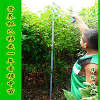 供应2米株高营养钵香樟苗