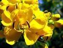 优质黄花槐种子,银合欢种子,金合欢种子,滇朴种子批发
