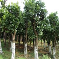 大量优质供应多种规格香泡树
