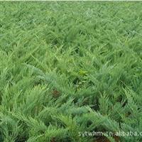 供应各种绿化苗..铺地柏.沙地柏.