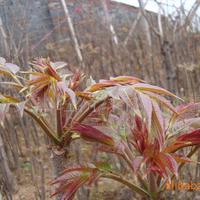 长期大量供应红香椿苗,成活率高,生长快!