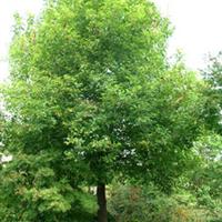 供应绿化苗木  乔木  香樟15公分