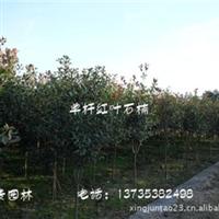 供应绿化苗木  乔木  单杆红叶石楠5公分