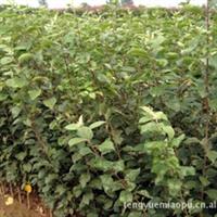 苹果苗、实生苹果苗、嫁接苹果苗、苹果苗品种、苹果苗价格