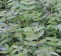 香椿树、香椿苗、香椿树苗、香椿树树苗