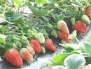 河北草莓苗 浙江草莓苗 安徽草莓苗 新疆草莓苗 河南草莓苗