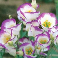 鲜花切花花卉鲜花批发鲜切花批发配花洋桔梗