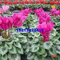基地批发小盆栽鲜花绿化用小盆花仙客来盆景