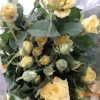 钻石玫瑰种苗、钻石月季种苗、玫瑰花苗、康乃馨种苗