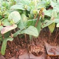优质玫瑰花苗、玫瑰种苗、月季花苗、非洲菊种苗、占地苗