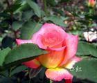 康乃馨种苗、玫瑰种苗、占地玫瑰花小苗