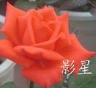 康乃馨种苗、玫瑰种苗、蔷薇苗