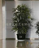 棕竹/绿化租赁,花卉出租,花卉租摆