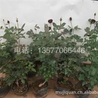 中国玫瑰种苗,玫瑰苗,玫瑰花苗,云南玫瑰种苗,盆景玫瑰。