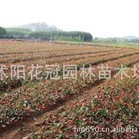 供应七叶树、剑麻、青枫、麻叶绣球、八仙花等绿化苗木