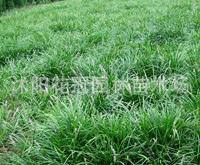 供应黑麦草,高羊茅,剪股颖,早熟禾,马尼拉质优价廉。