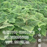 供应 南洋杉 (图)南洋杉树 南洋杉苗 常绿乔木松柏绿化苗木出售