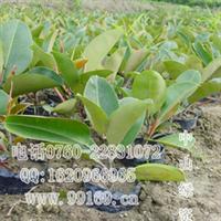批发供应 橡胶榕 常绿乔木类  橡胶榕树 小苗 出售各规格绿化苗木