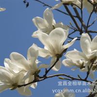 大量供应-- 绿化苗木 各种规格白玉兰 花卉苗木 白花玉兰苗木