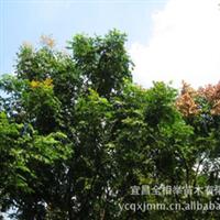 大量供应-- 栾树 厂地直销各种规格栾树 工程绿化苗木 栾树苗