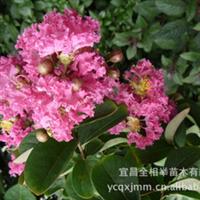 大量供应-- 乔木类 红花紫薇 百日红 满堂红 规格齐全 绿化苗木