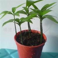 批发供应竹柏种子。种苗。