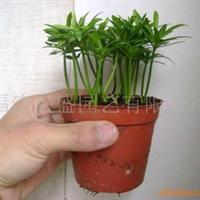 批发供应台湾南屿罗汉松小盆栽。中叶罗汉松