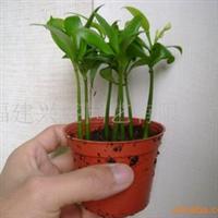 [3元特卖]j进口兴旺竹。竹柏小盆栽