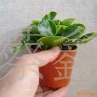 《2元特价》花叶碧玉(椒草)小盆栽